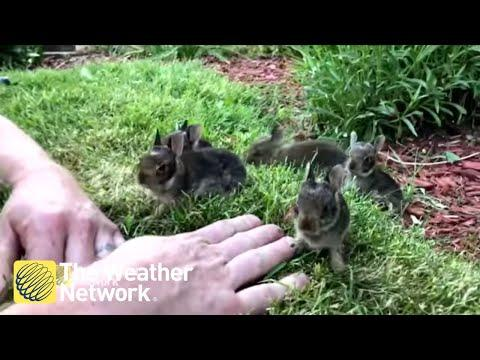 Man coaxes nest of 6 cute baby bunnies out from his garden #Video