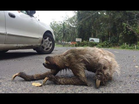Sloth Crossing A Road - Your Daily Dose Of Internet