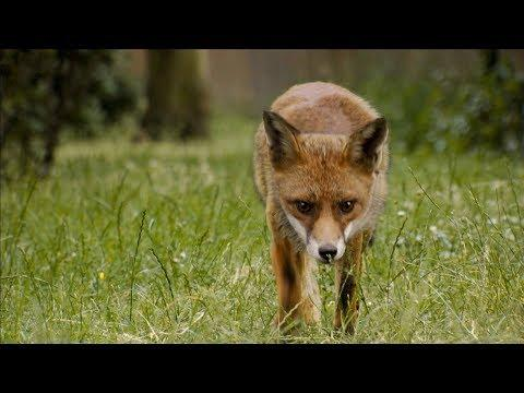 Elderly Lady Trains and Feeds Foxes | London's Wild Side | BBC Earth