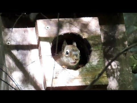 Red Squirrel Kittens Leave the Nest Box
