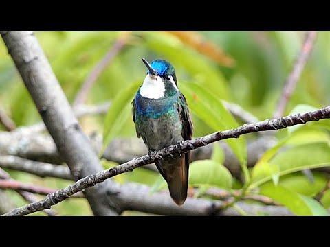 Birds of Costa Rica Video: Hummingbirds