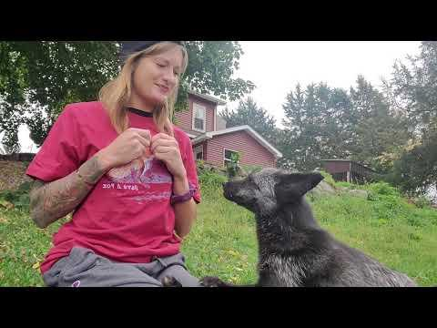 Muttias the fox showing how smart he is. SaveAFox Video