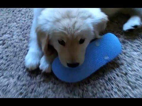 Puppies Stealing Shoes Compilation