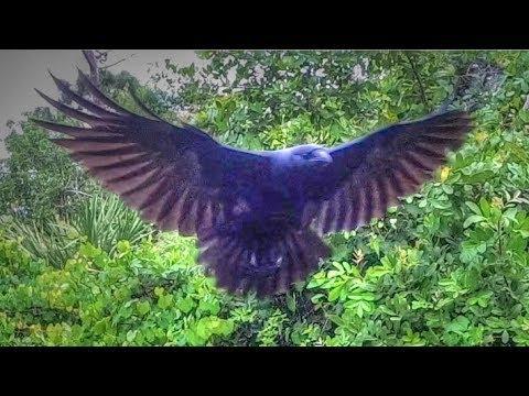 Slo Mo Crow