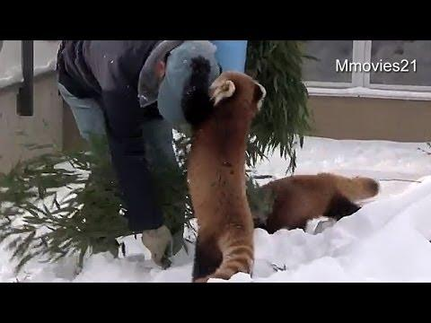 Feisty Red Pandas