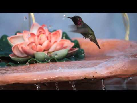 Hummingbird Plays In Water Fountain