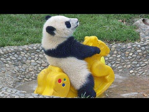 Cute Pandas Playing – Funny Panda Videos – Panda Funny Video
