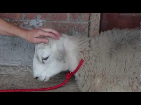 Jack The Sheep Who Thinks He's A Dog