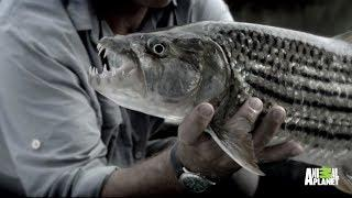 Giant Sinister Fish in the Zambezi River