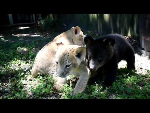 Lazy Lion Play and surprise bear attack