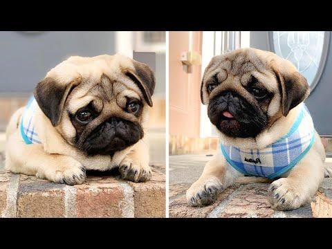 AWW SOO Cute and Funny Pug Puppies - Funniest Pug Ever #21
