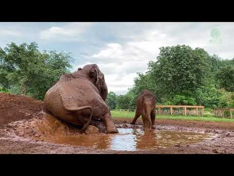 Baby Elephant Pyi Mai And Her First Time In Mud Pitch - ElephantNews #Video