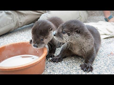 Two Rescued Otter Pups