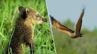 Young Coati vs Hawk | Wild Brazil | BBC Earth