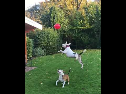 Adorable Dogs Love Playing With Balloon
