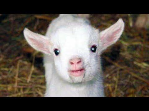 Funny Goats - Cute Baby Goats - Goat Cute Videos - Funny Goat Video - Goats Videos