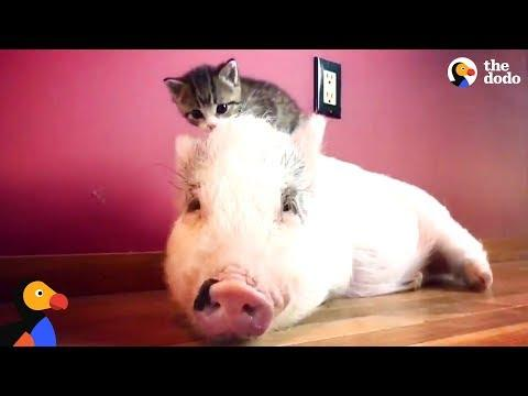 Pig Raised By Cats Thinks He's One Of Them Now - DRAGONLORD