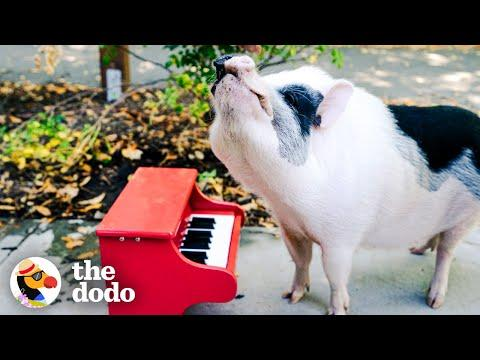 Rescue Pig Runs Wild At The Park