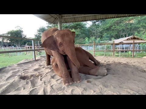 Elephant Tries To Wake Up Her Nanny Video- ElephantNews