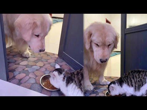 Sweet Golden Retriever Feeding a Stray Cat Video