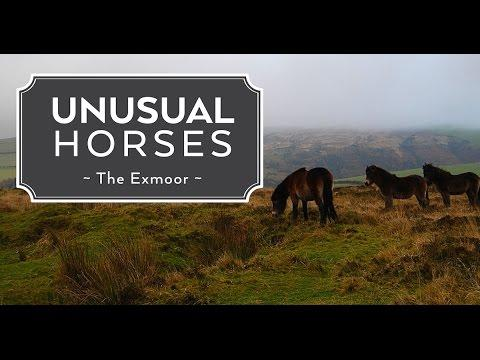 Unusual Horses: The Exmoor