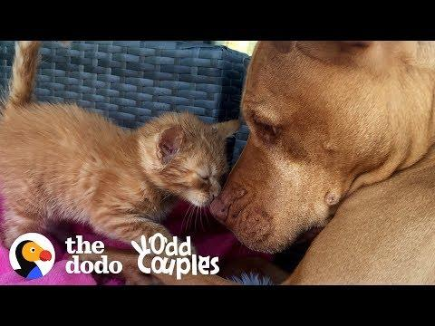 Watch This Kitten Grow Up with a Pit Bull  | The Dodo Odd Couples