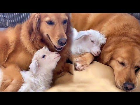 Golden Retriever Makes Friends With Baby Sheep Video... And It's Adorable