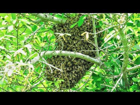 Honey Bee Swarm in Oak Tree