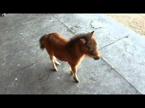 Baby miniature horse chasing me video