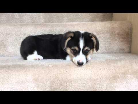 Corgi Puppy Going Down Stairs