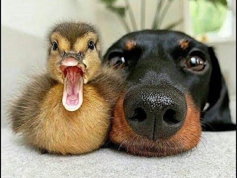 Funny Dogs playing with Ducks -  Dog and Duck funny Moments Compilation