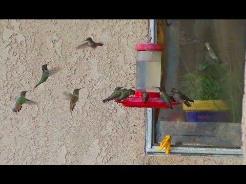 Hummingbirds Impacted by Smoke Wildfire Areas on The Move in California