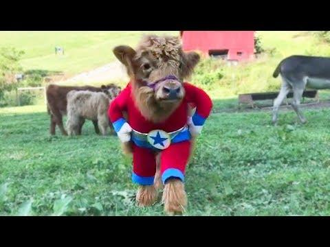 Happy Cow Video – Funny Cows Video – Funny Cow Videos – Cute Cows Video Cow Cow – Cows Cows Cows