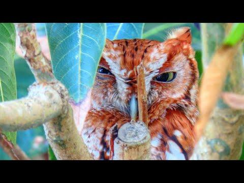 Father Red Morph Eastern Screech Owl