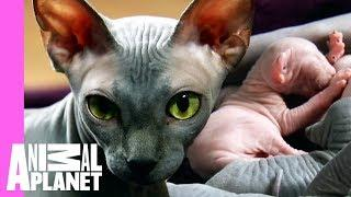 Bald & Beautiful: Sphynx Kittens   Too Cute!