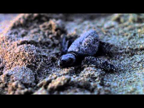 Baby Turtles Migration