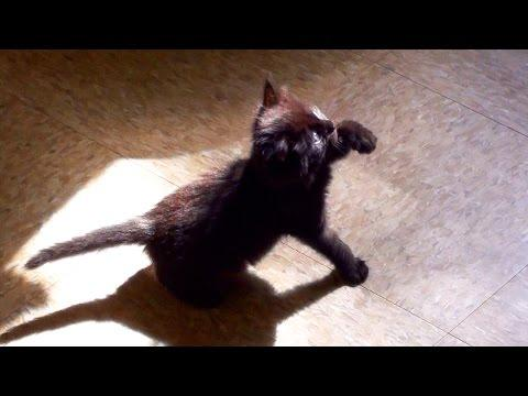 Cute Black Kitten Shadow Boxing!