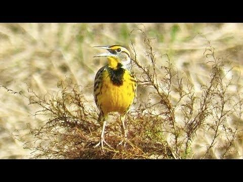 Eastern Meadowlark Song