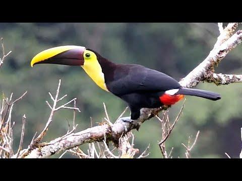 Aves de Costa Rica Video