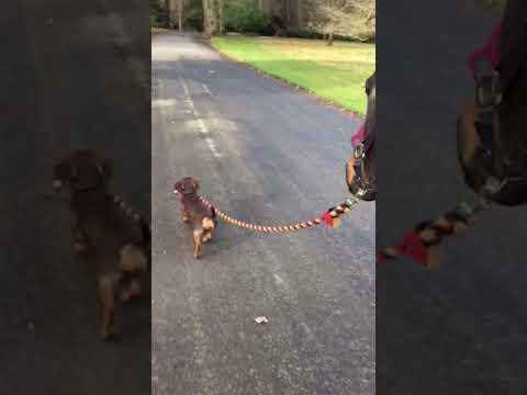 Dachshund Takes Job of Walking Horse Very Seriously