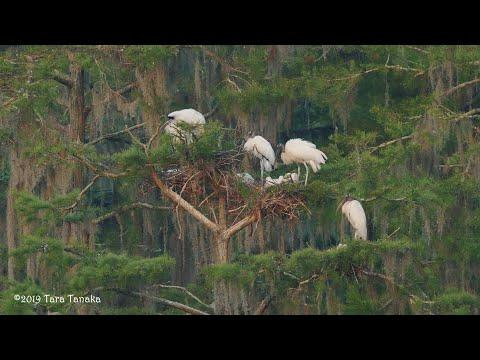 Late winter and early spring 2019 in our Wood Stork sanctuary