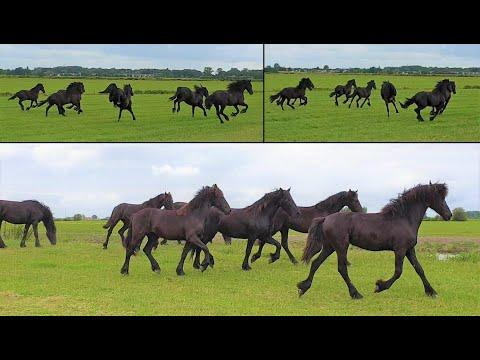 Happy Friesian horses with their new pasture!
