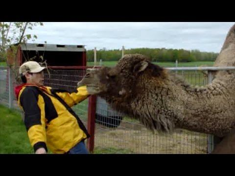 Llamas, Alpacas, And Camels Are Awesome: Compilation