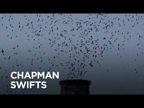 Return of the Chapman swifts