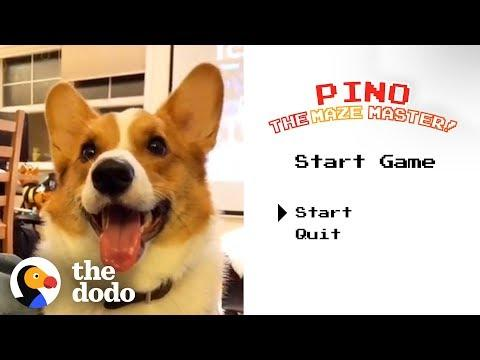 Corgi Can Find His Way Through Any Maze | The Dodo