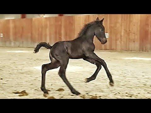 3 days old filly Marije. Friesian Horse Video