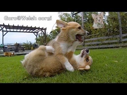 Rocky Puppies / Cute Corgi Puppies On Grass