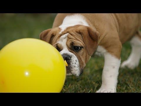 Funny Dog Videos - Funny Dogs vs Balloons Compilation (2019)