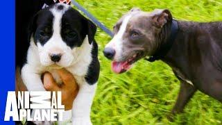 Stray Mother Dog Leads Rescuers To Her Puppies | Pit Bulls & Parolees