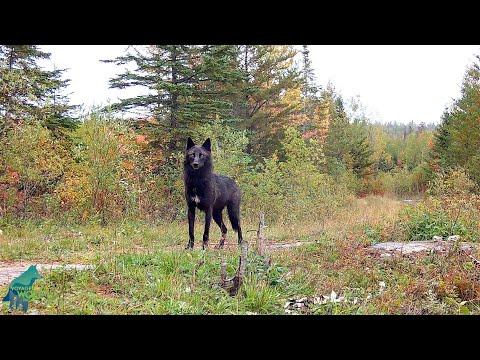 Black wolf in the scenic fall colors of northern Minnesota #Video